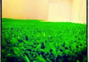 Green Edel Grass